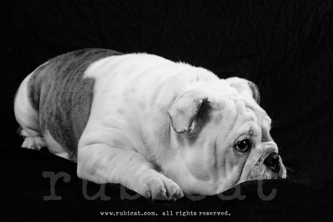 2008bulldog