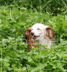 This is Lucy. And that is clover. Yes, Lucy is that tiny. And yes, she actually IS jumping over the clover.