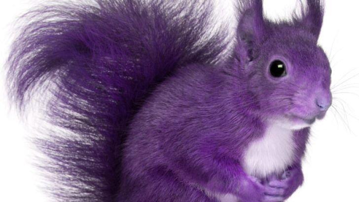 purple_squirrel
