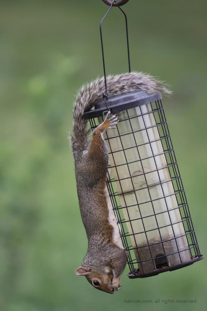 squirrelatfeeder