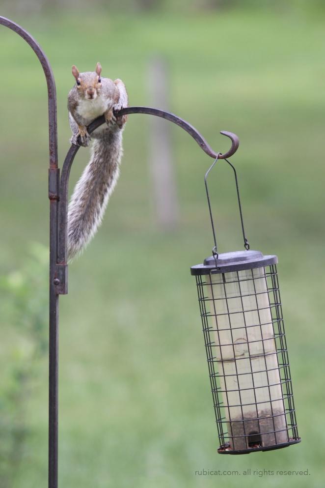 squirrelatfeeder2